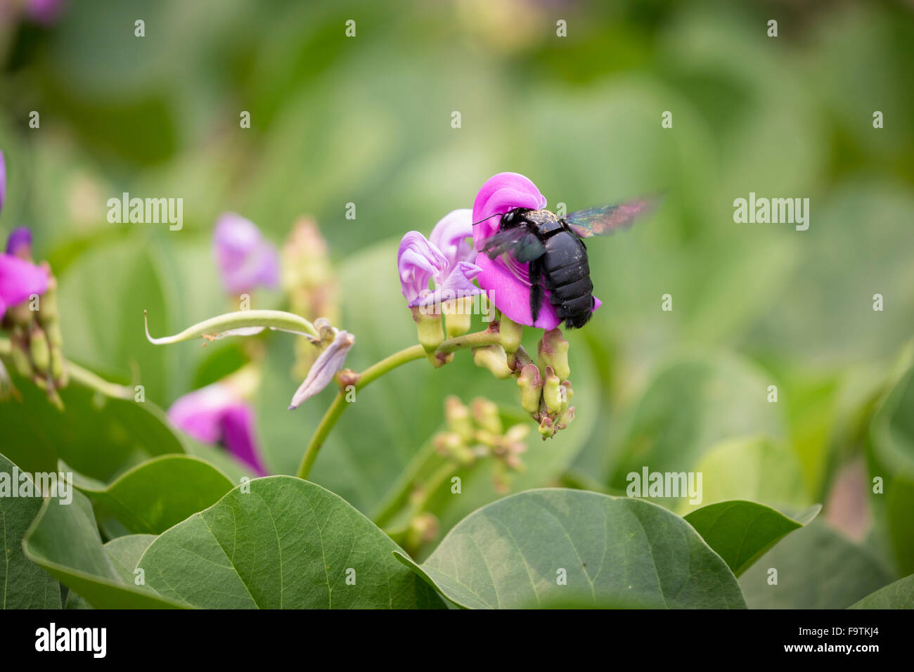 Tropical carpenter bee, Xylocopa latipes, pollinating a flower - Stock Image