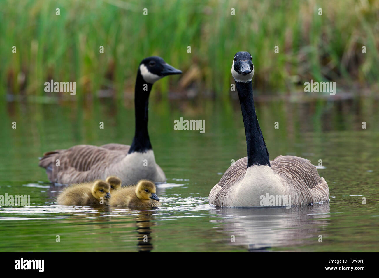 Canada geese (Branta canadensis) parents swimming with three goslings in lake - Stock Image