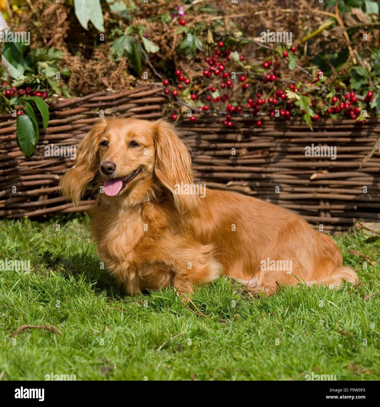 miniature longhaired dachshund Stock Photo