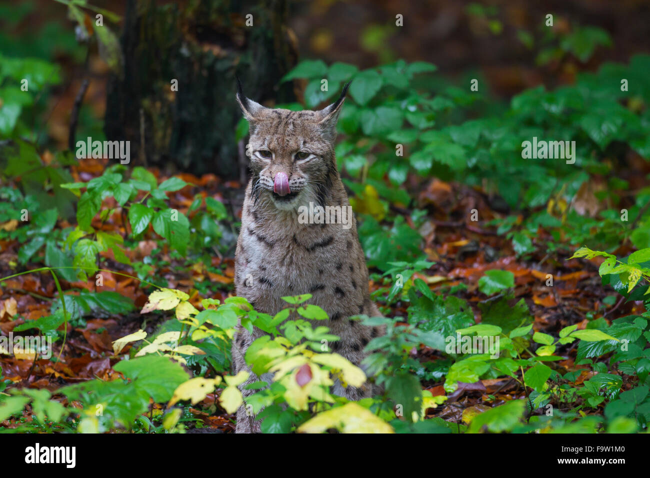 Eurasian lynx (Lynx lynx) licking nose in forest in autumn - Stock Image