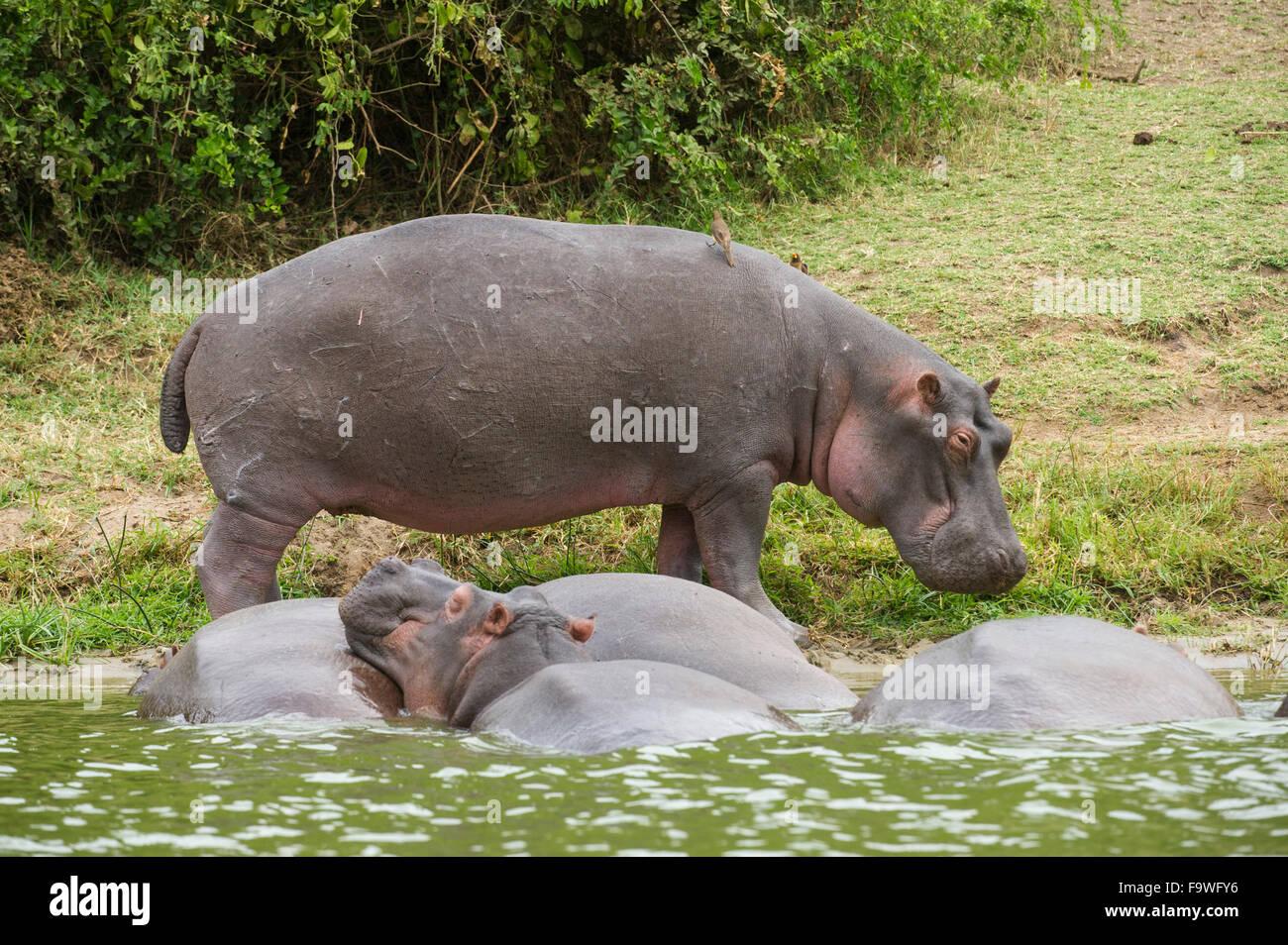Hippopotamus (Hippopotamus amphibius) on the Kazinga Channel, Queen Elizabeth National Park, Uganda - Stock Image