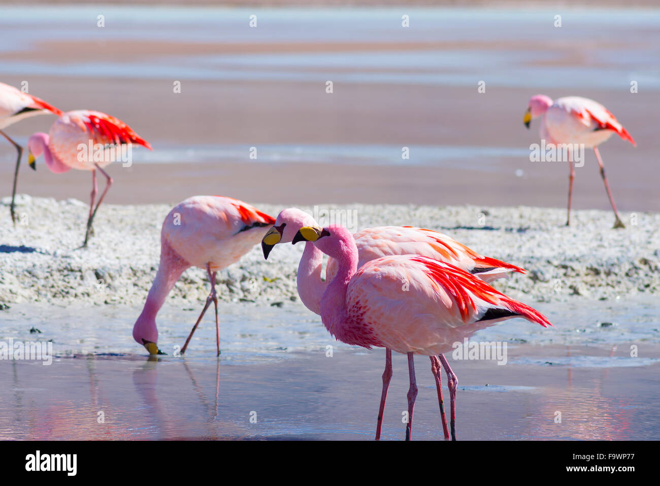 Pink flamingos feeding in the salt water of 'Laguna Hedionda' (eng. Hedionda Lake), among the most scenic - Stock Image