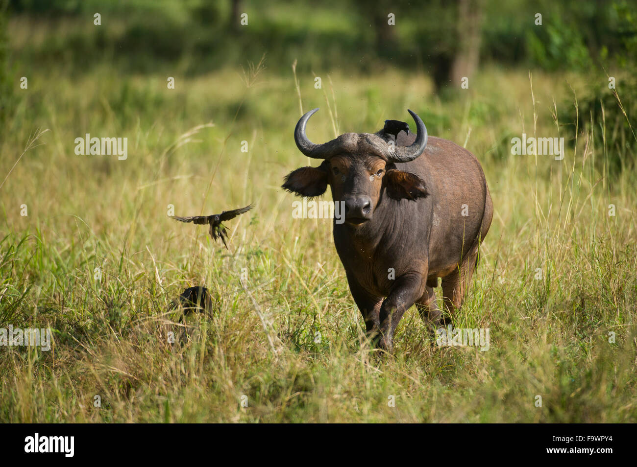 Buffalo (Syncerus caffer caffer), Semliki Wildlife Reserve, Uganda Stock Photo