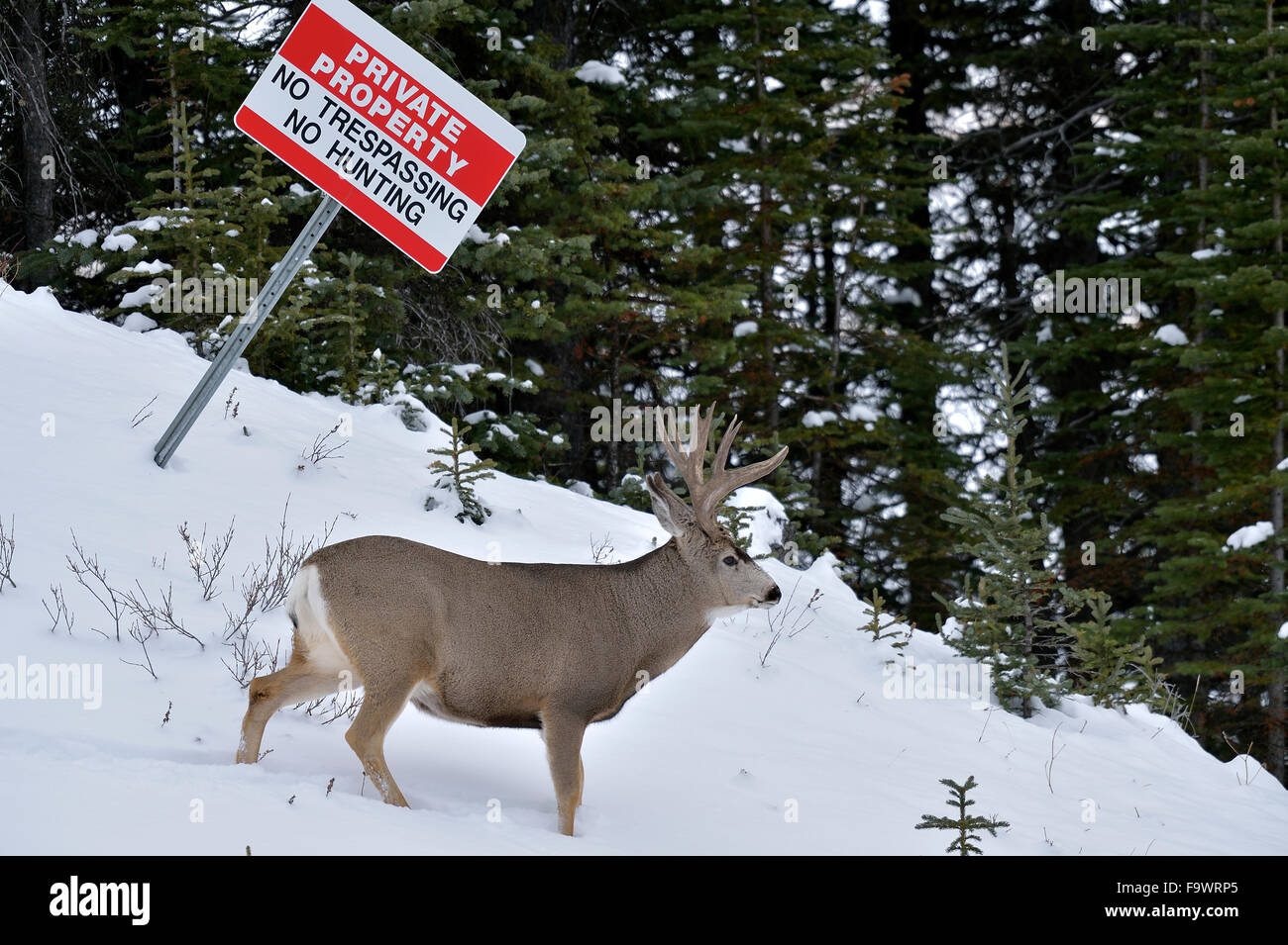 An adult mule deer buck under a no hunting sign in rural Alberta Canada Stock Photo