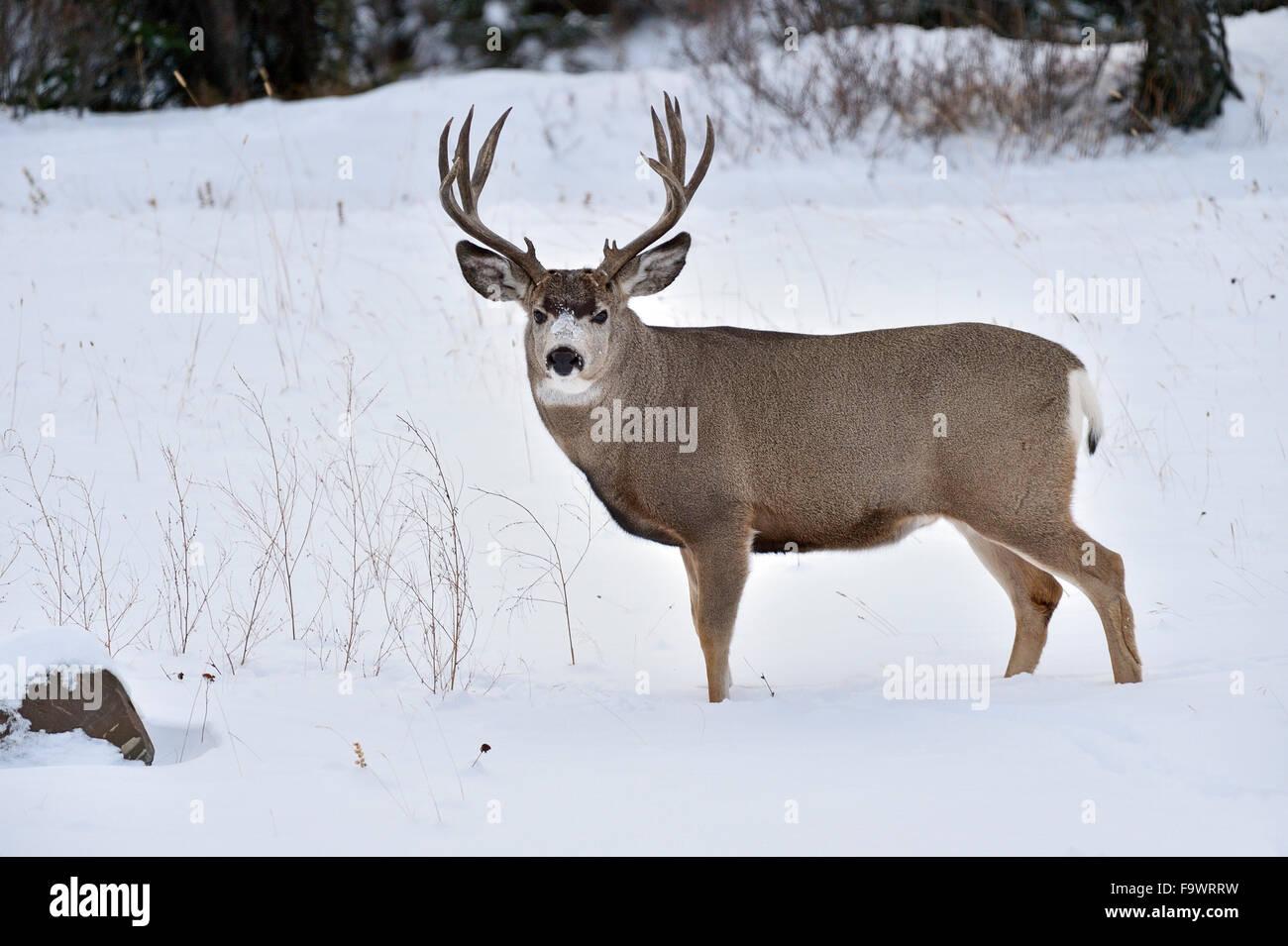 A mule deer buck  Odocoileus hemionus; standing in the fresh snow in rural Alberta Canada. - Stock Image
