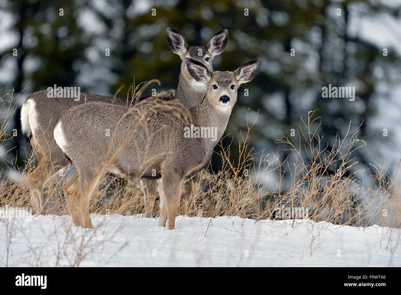 A mother and fawn mule deer standing on a hill in the fresh snow in rural Alberta Canada. - Stock Image