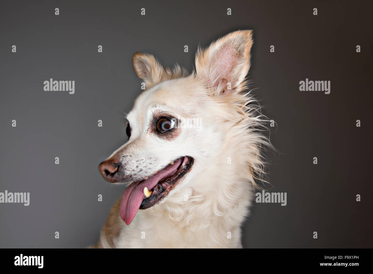 Portrait of a panting mongrel in front of grey background - Stock Image