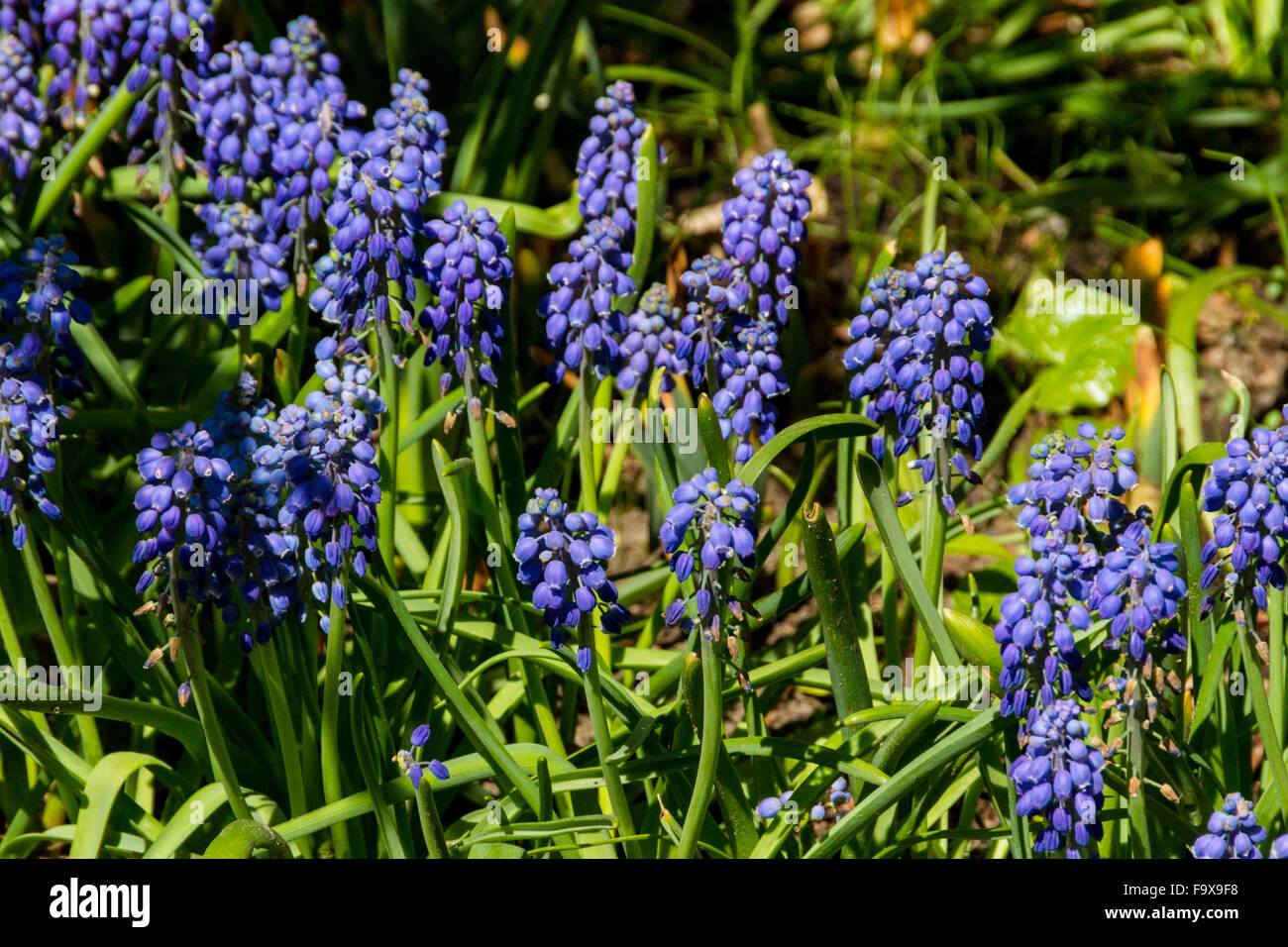 First Blue Springs Flowers Muscari Stock Photo 92161980 Alamy