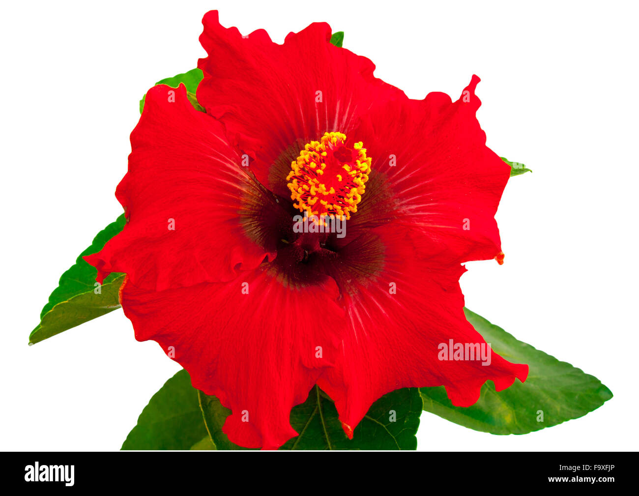 Spanish lady hibiscus flower on a white background stock photo spanish lady hibiscus flower on a white background izmirmasajfo