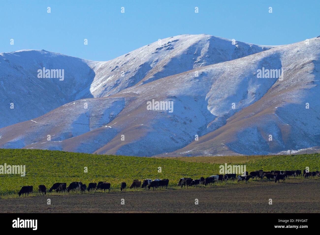 Cows and Kakanui Mountains, Kyeburn, near Ranfurly, Maniototo, Central Otago, South Island, New Zealand - Stock Image