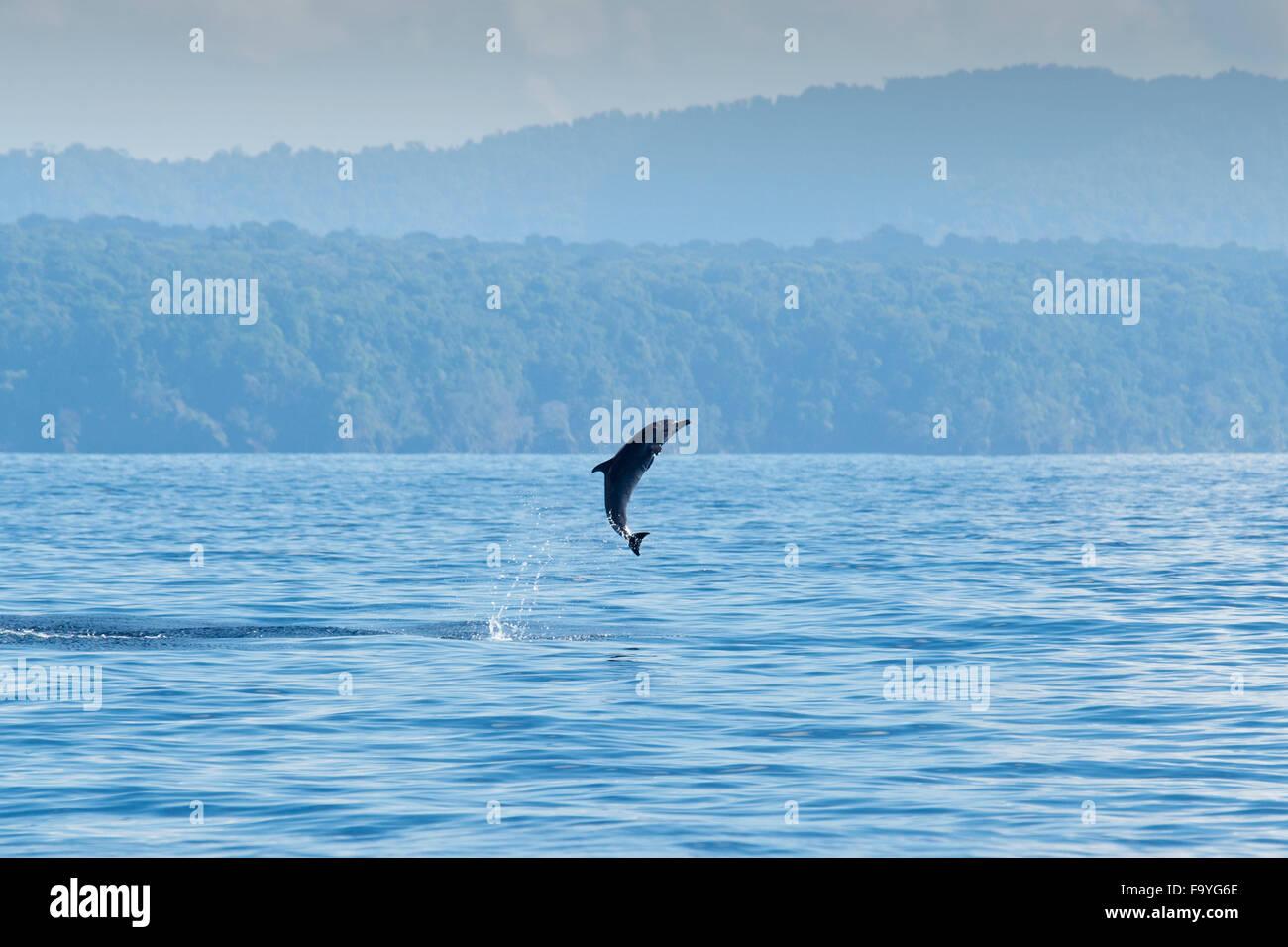 Inshore Pantropical Spotted Dolphin, Stenella attenuata graffmani, jumping, Drake Bay, Osa Peninsuala, Costa Rica, - Stock Image