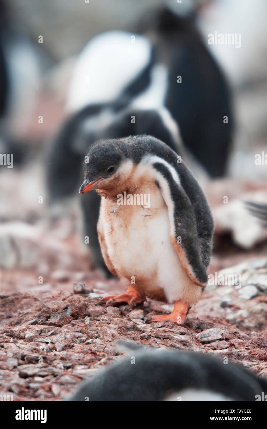 Sad Gentoo penguin chick, Pygoscelis papua. Hannah Point, South Shetland Islands - Stock Image
