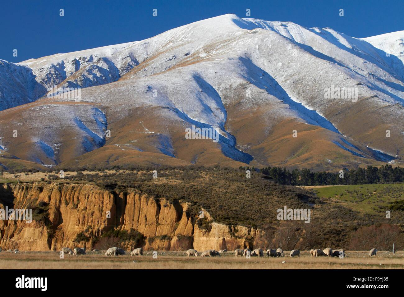 Sheep and Kakanui Mountains, Maniototo, Central Otago, South Island, New Zealand - Stock Image