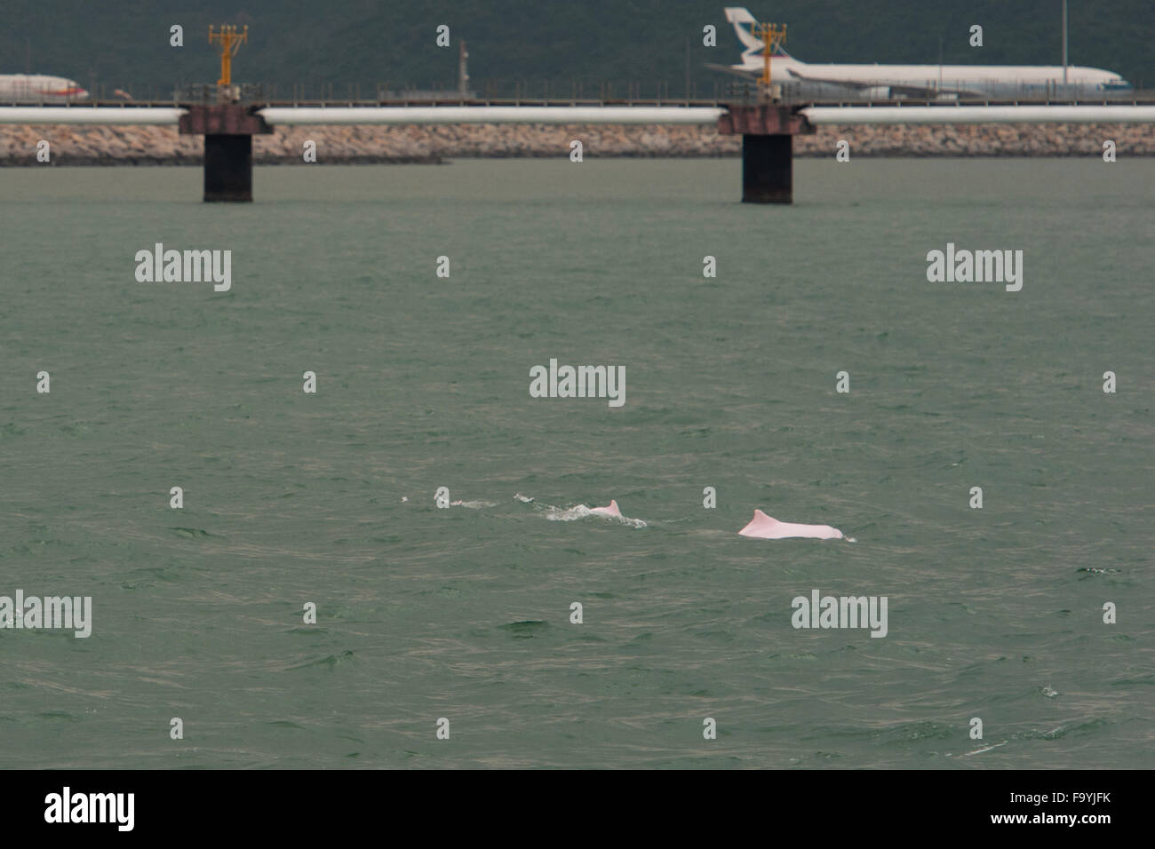 Indo-Pacific Humpback Dolphin (Sousa chinensis), adult female & calf surfacing  near Hong Kong Airport Runway, - Stock Image
