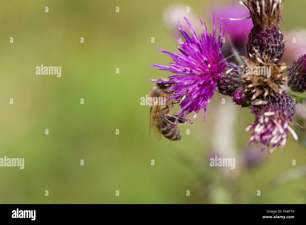 Greater Marsh Thistle; Cirsium palustre Honey Bee on Flower Cornwall; UK - Stock Image