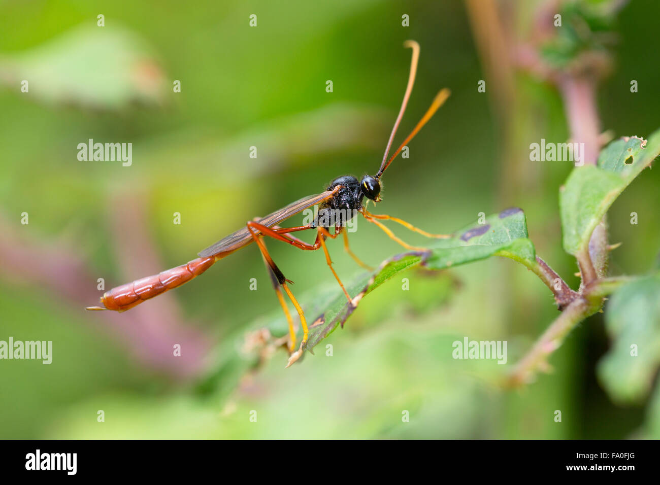Ichneumon Fly; Habrocampulum biguttatum Single on Leaf; Cornwall; UK Stock Photo