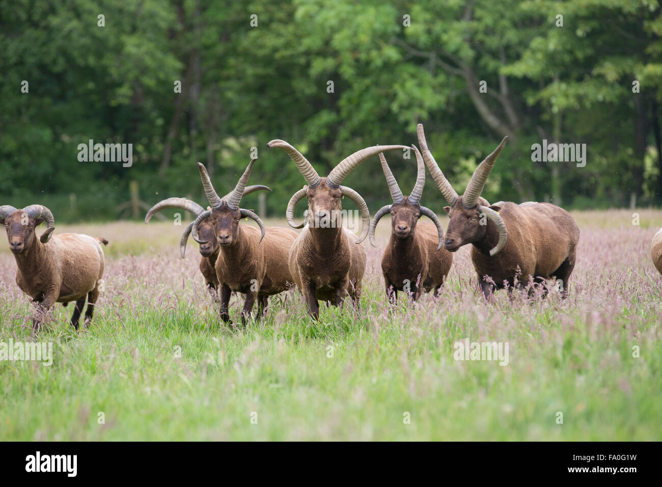 Manx Loaghtan Ram; Flock in Field Isle of Man; UK - Stock Image