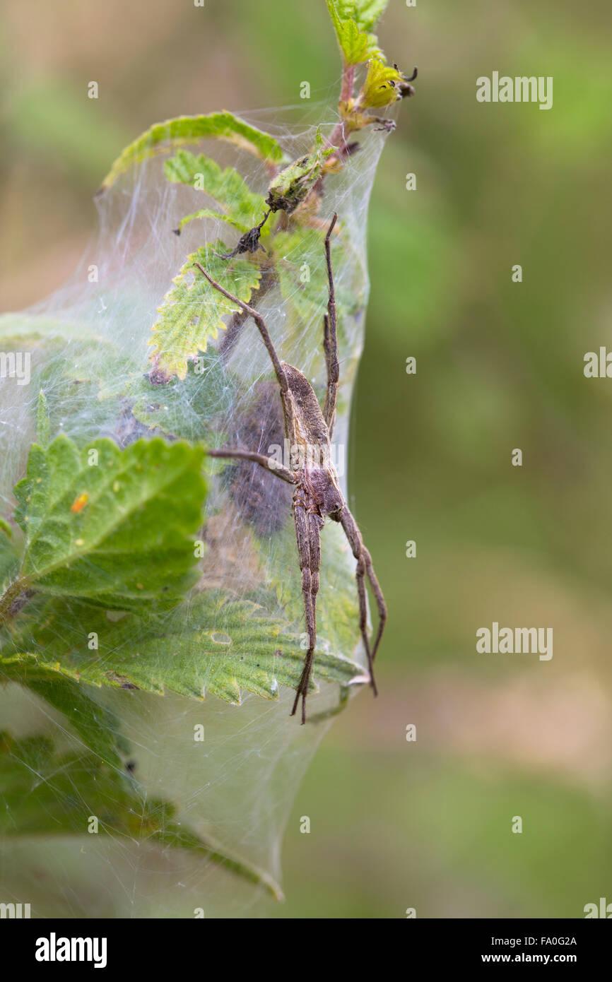 Nursery Web Spider; Pisaura mirabilis Single on Web; Cornwall; UK - Stock Image