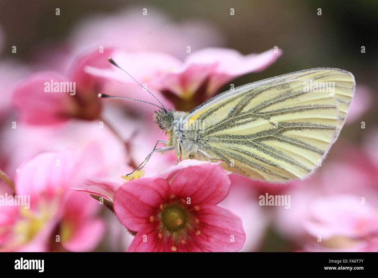 Underside of Green-veined white Pieris napi butterfly on Saxifrage flower - Stock Image