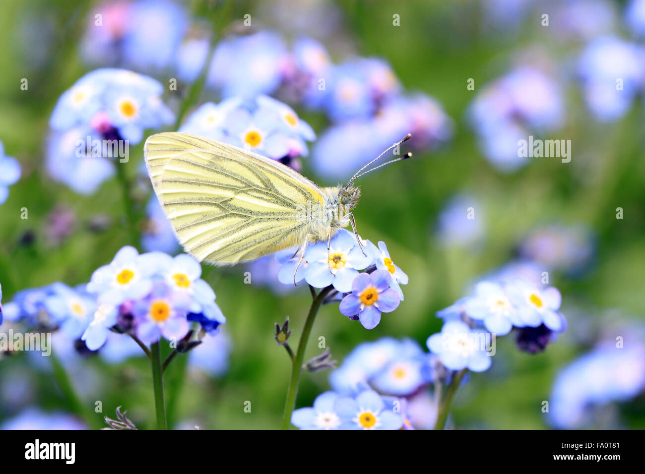 Green Veined White Pieris napi butterfly on flower head in an English cottage garden Stock Photo