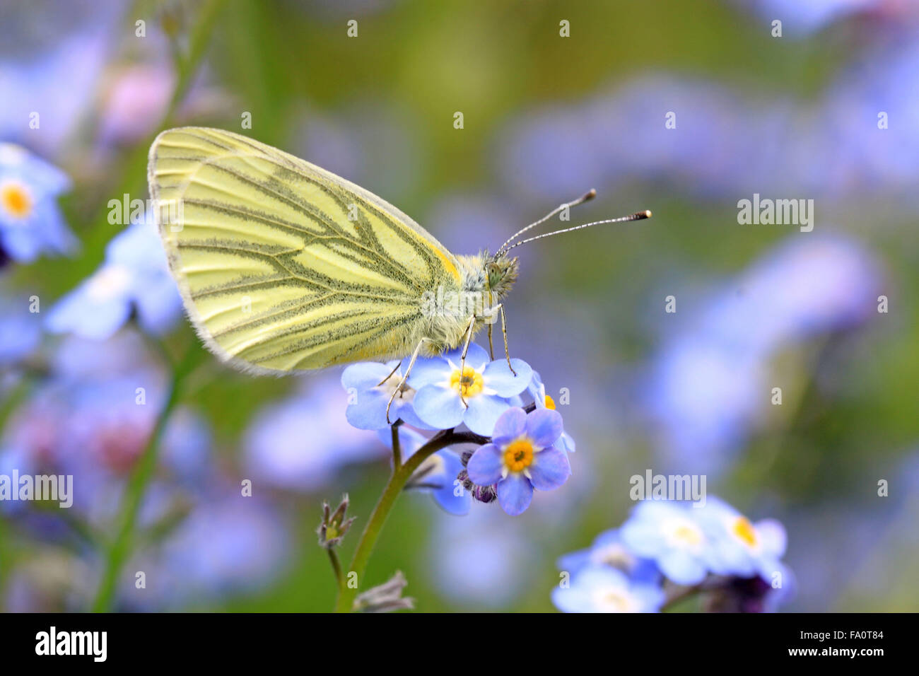 Underside of Green-veined white Pieris napi butterfly on forget me not flower - Stock Image