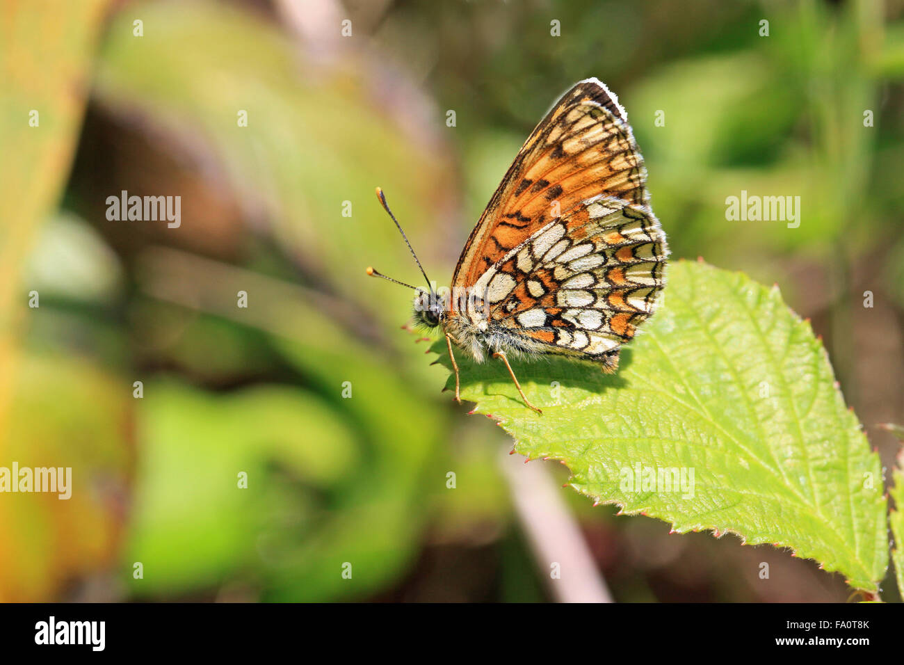 Heath Fritillary Mellicta uthalia butterfly in East Blean woods nature reserve near Canterbury Kent England - Stock Image