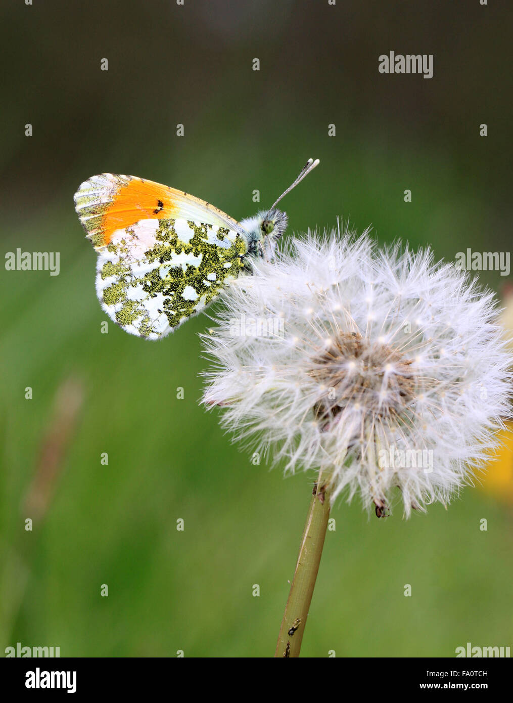 Orange tip butterfly Anthocharis cardamines  in the English countryside in the springtime on a Dandelion seed head Stock Photo