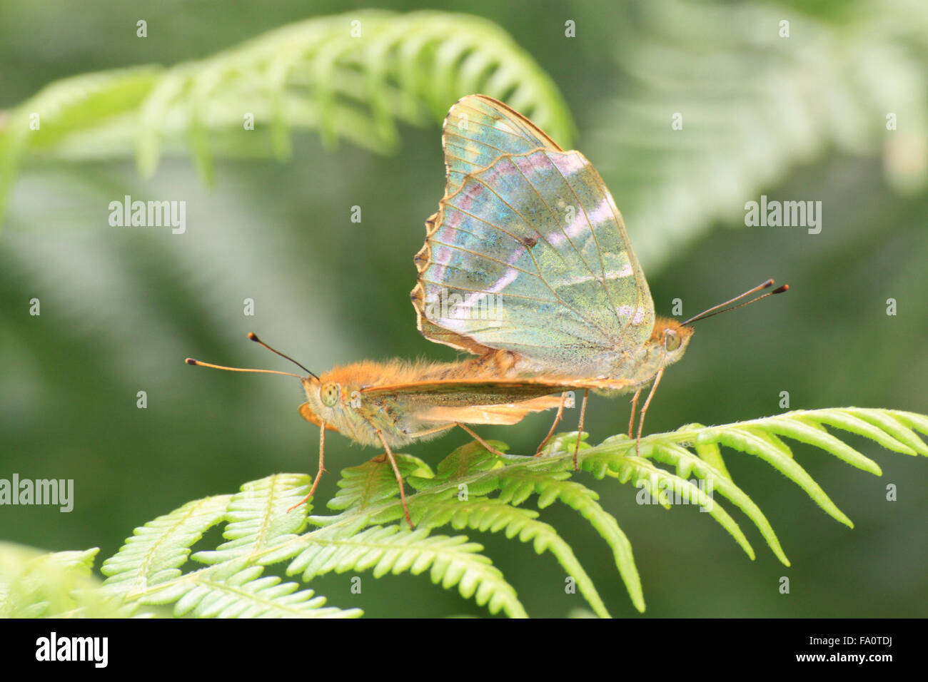 Two Silver-washed Fritillary Argynnis paphia  butterflies mating on bracken in Bentley wood near Sailsbury Wiltshire - Stock Image