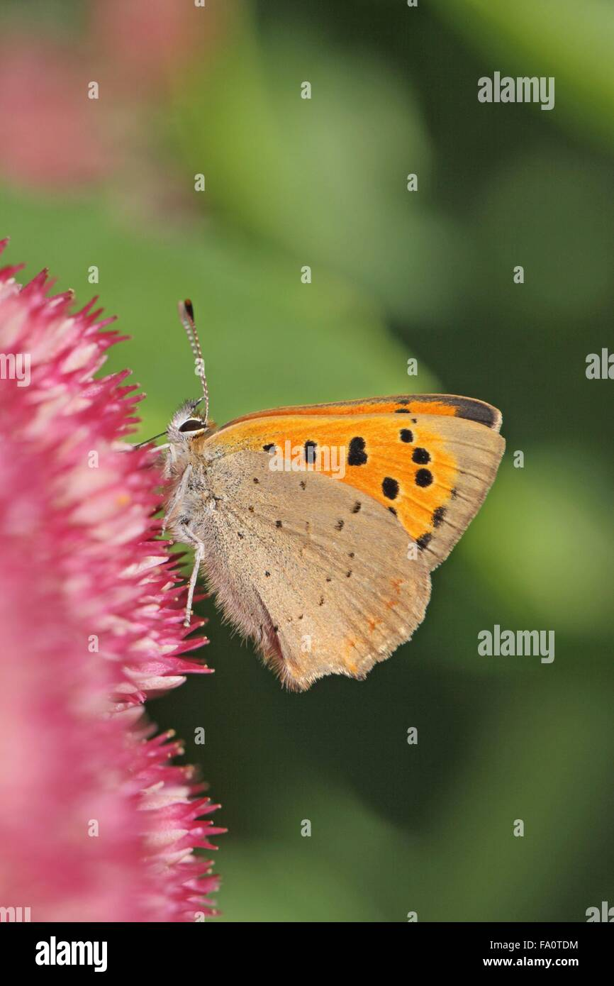 Underside of Small Copper Butterfly Lycaena phlaeas on Sedum spectabile flower head in the English Autumn England Stock Photo