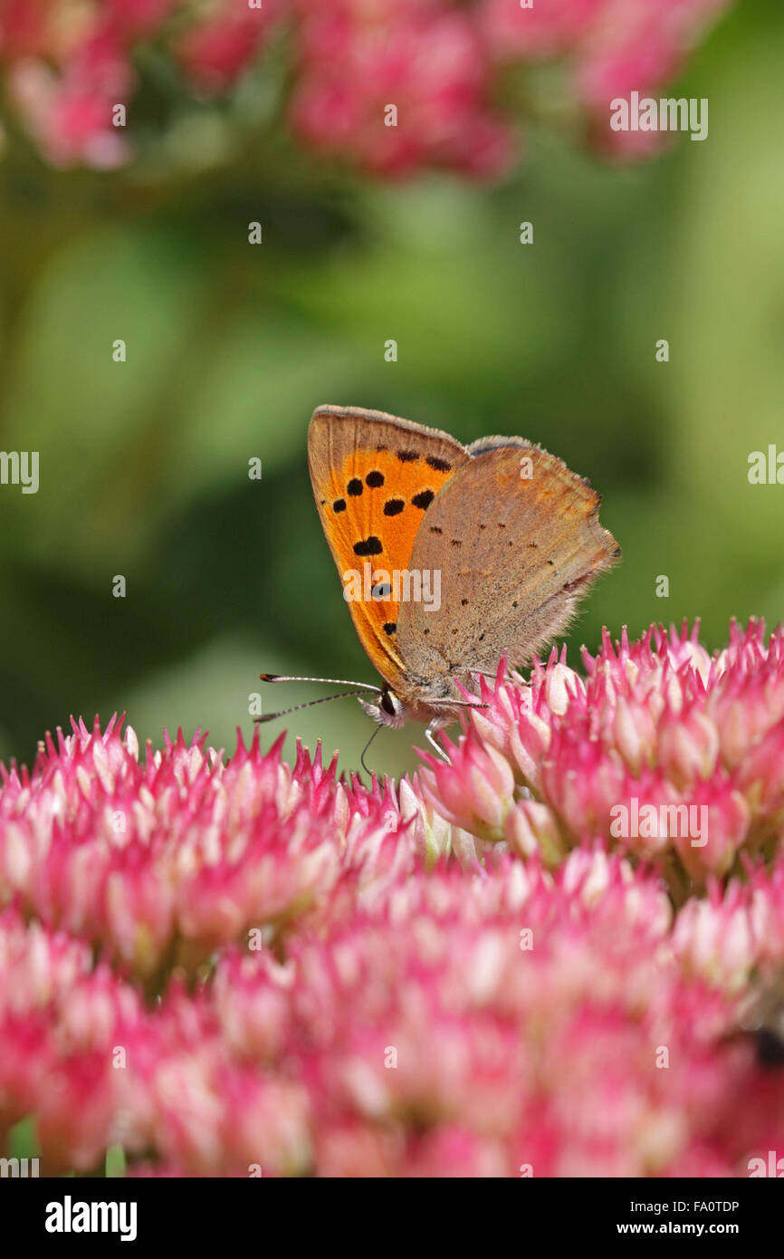 Small Copper, Lycaena phlaeas ,butterfly taking nectar from Sedum spectabile flower - Stock Image