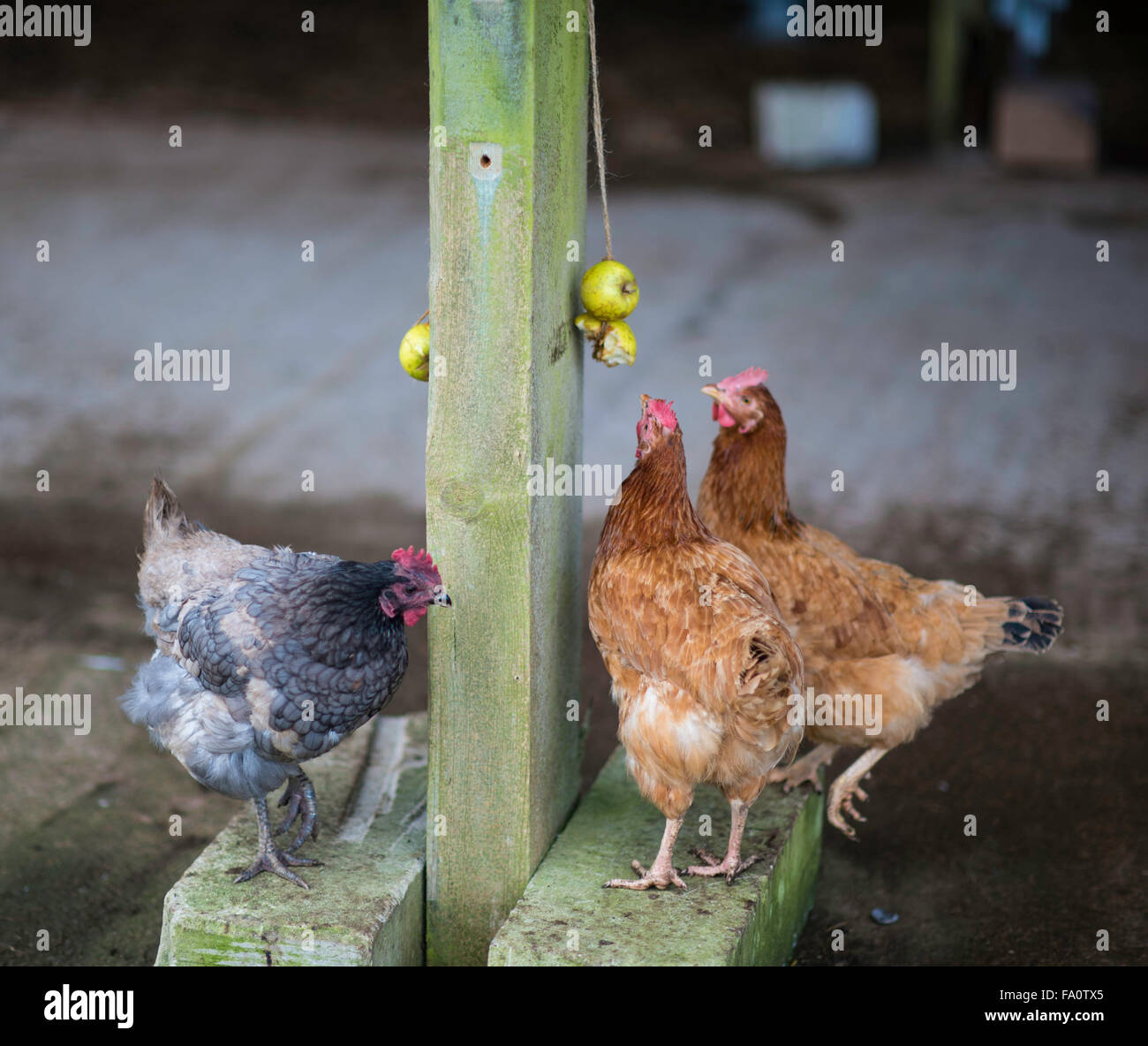 Free range chickens in a barn Stock Photo