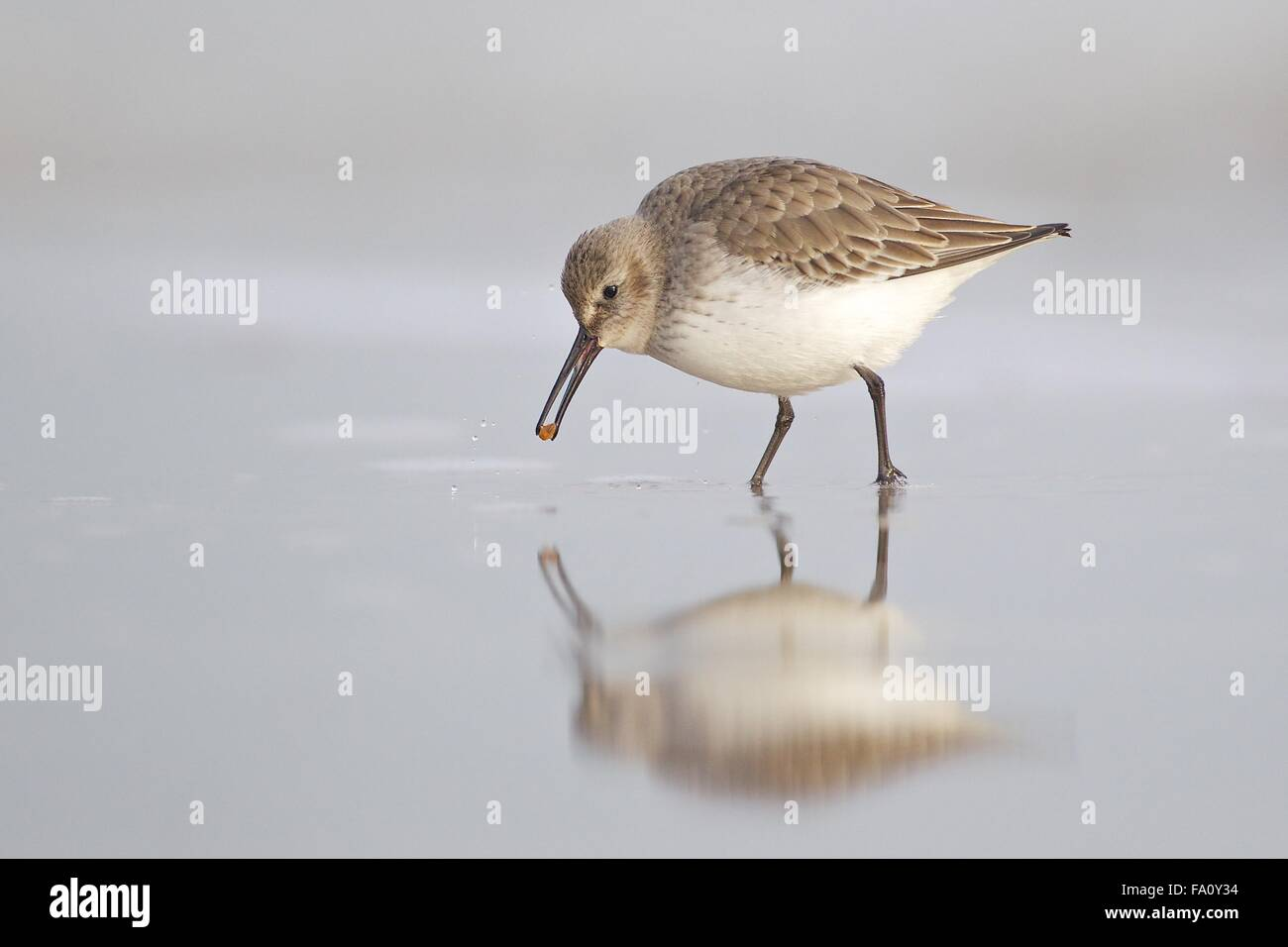Dunlin - Calidris alpina - juvenile, first winter plumage feeding along the tide line. Lade beach, Dungeness, Kent Stock Photo