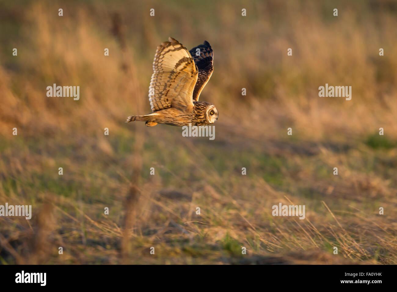 Short-eared Owl, Asio flammeus, - Stock Image