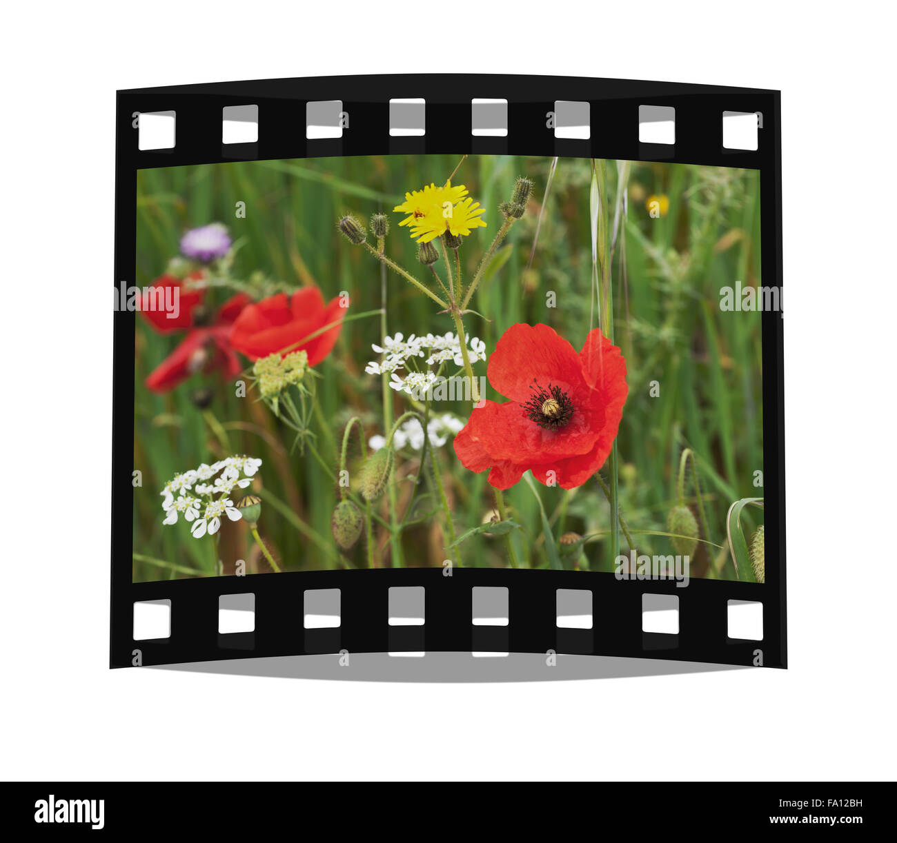 A colorful flower meadow in springtime, a red poppy in the middle - Stock Image