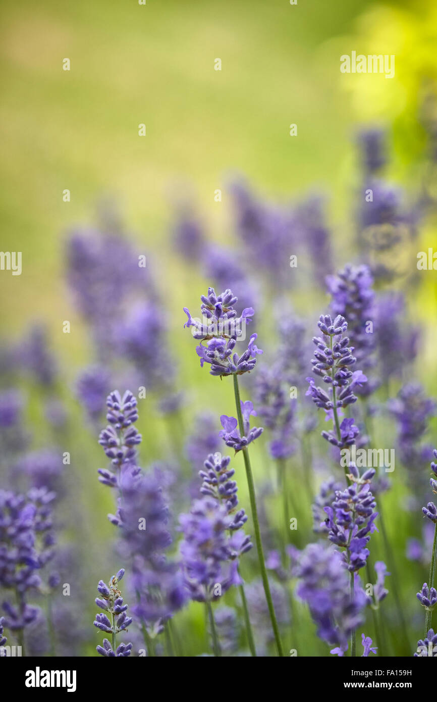 Lavender Flowering in an English country garden - Stock Image