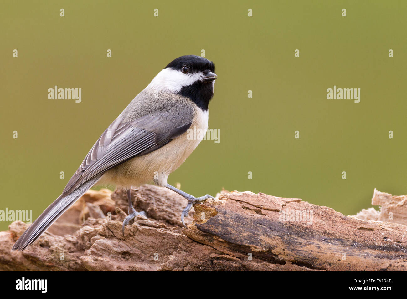 A Carolina chickadee perched on a fallen log. - Stock Image