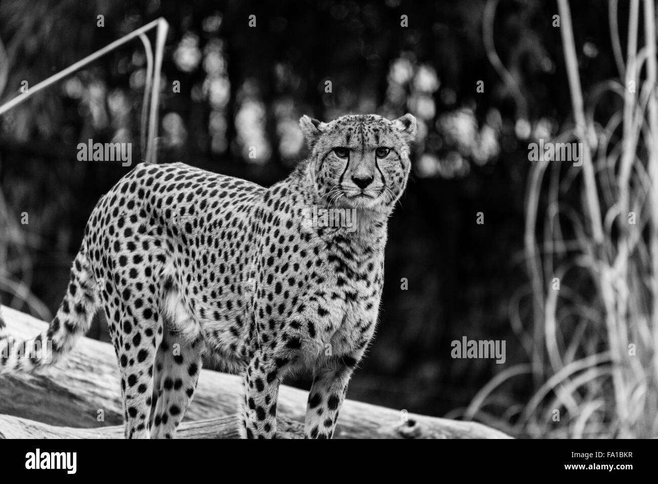 Cheetah Starring at Camera in Black and White - Stock Image