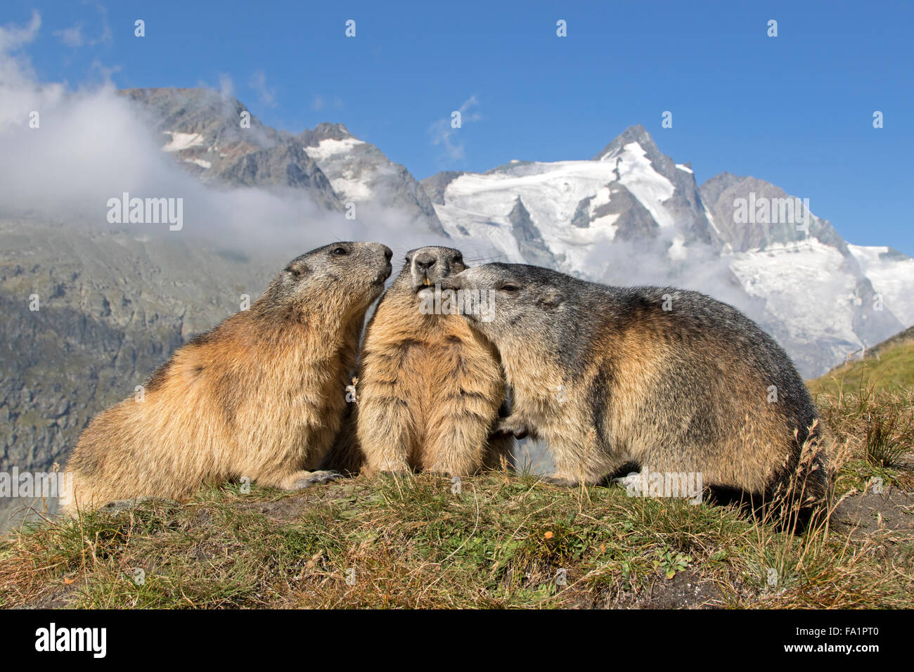 Alpine marmot in front of Großglockner, High Tauern National Park, Carinthia, Austria, Europe / Marmota marmota - Stock Image