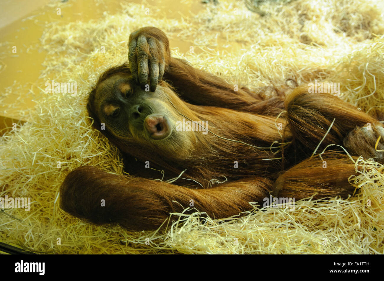 Sumatran orangutan (Pongo abelii) giving a kiss Stock Photo