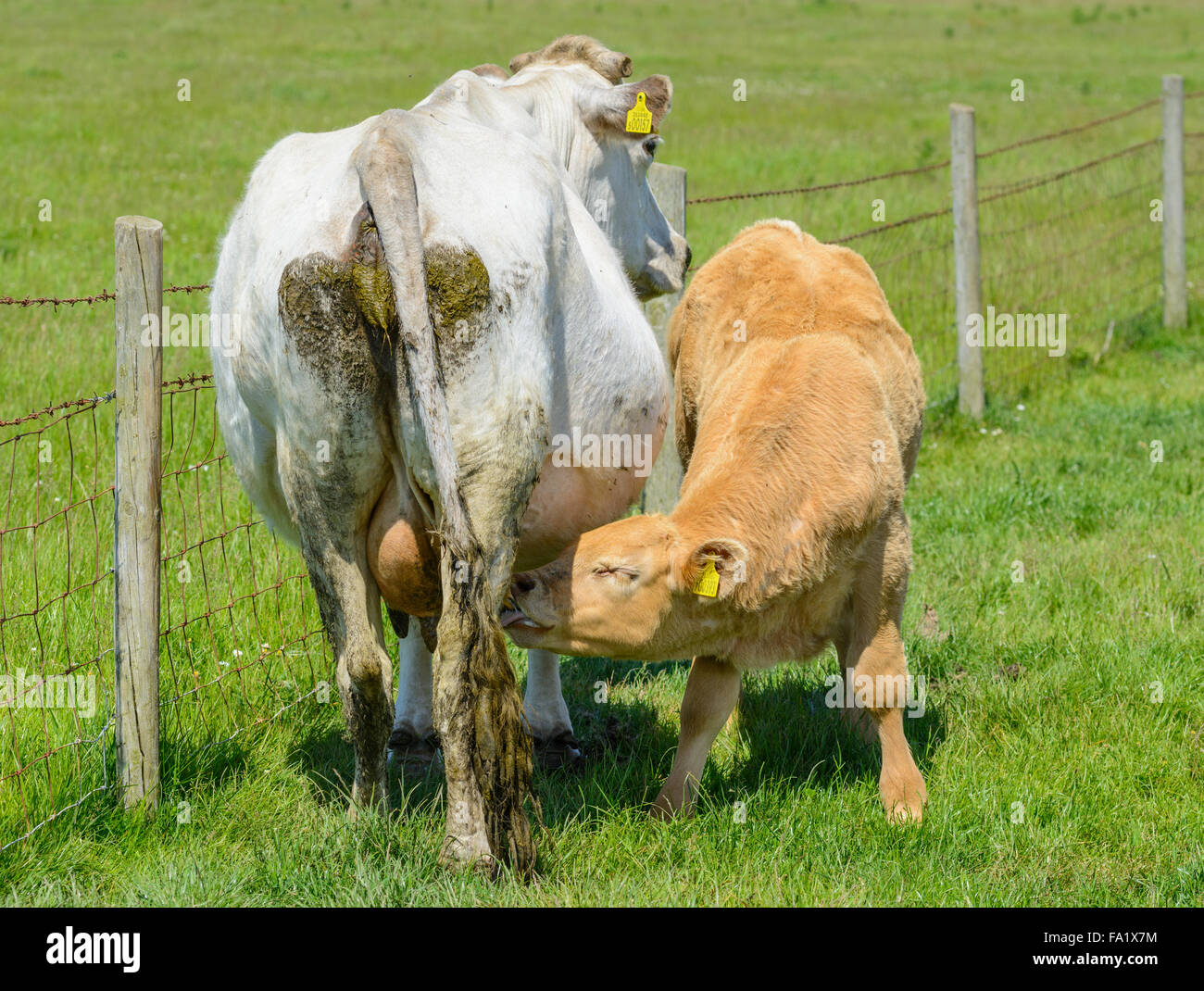 Young calf sucking from its Mother in a field by a fence. Cow feeding. - Stock Image