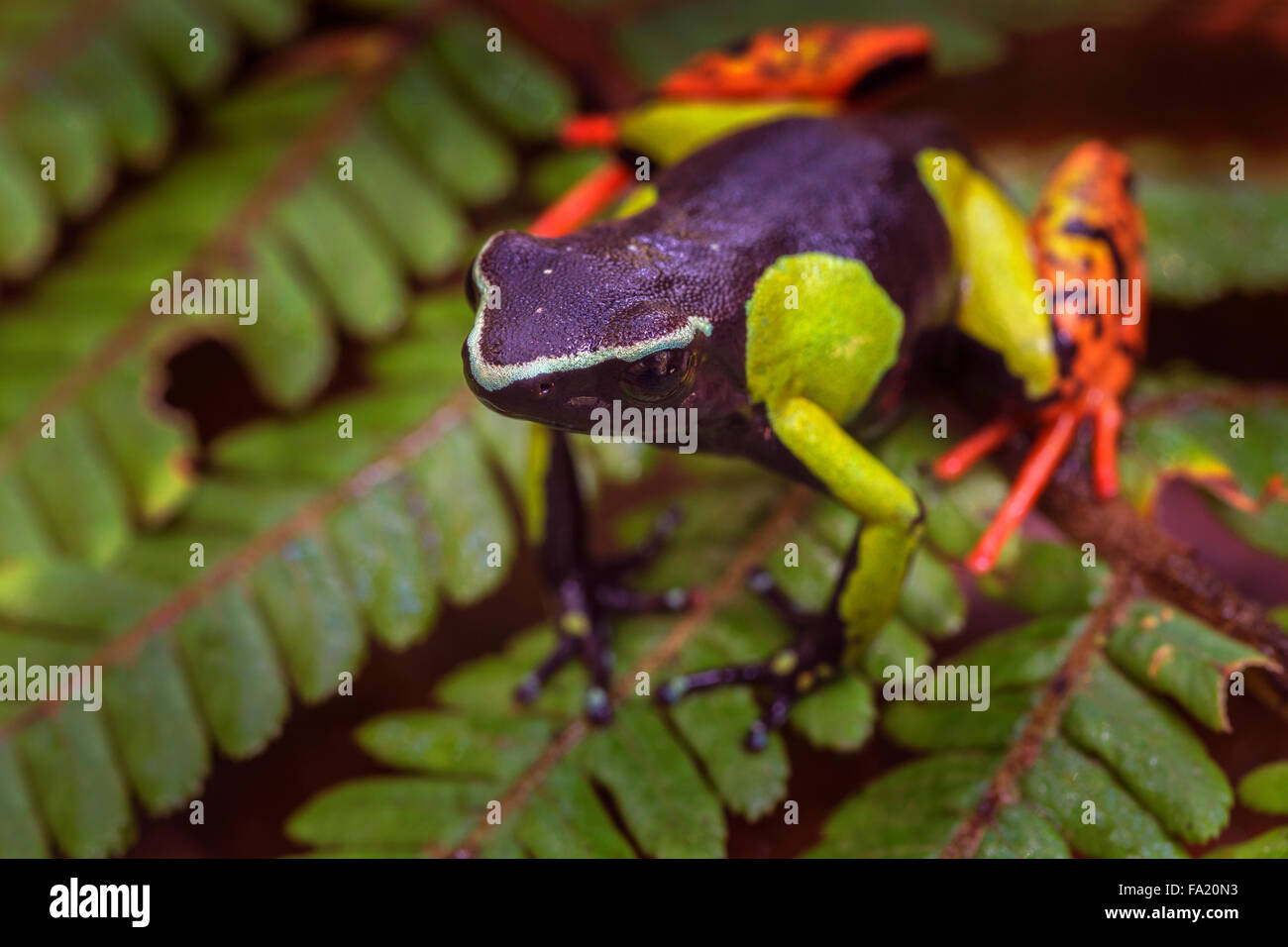 A painted Mantella frog in Andasibe Mantadia National Park , Madagascar. - Stock Image