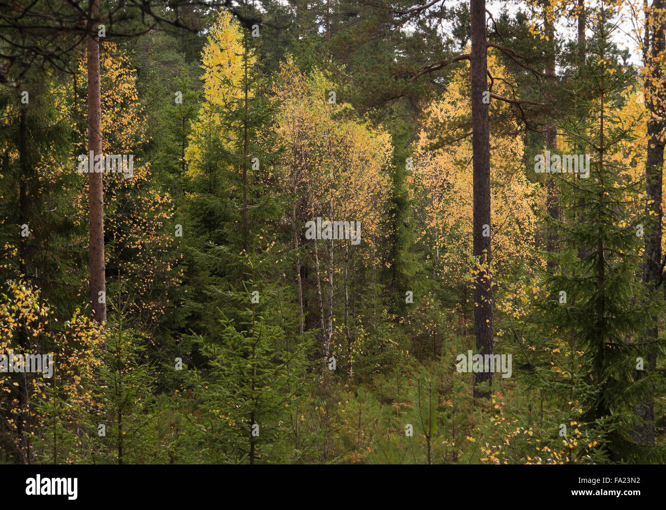 Autumnal scene from the forest in Oslo Norway, yellow leaves and dark green conifers - Stock Image
