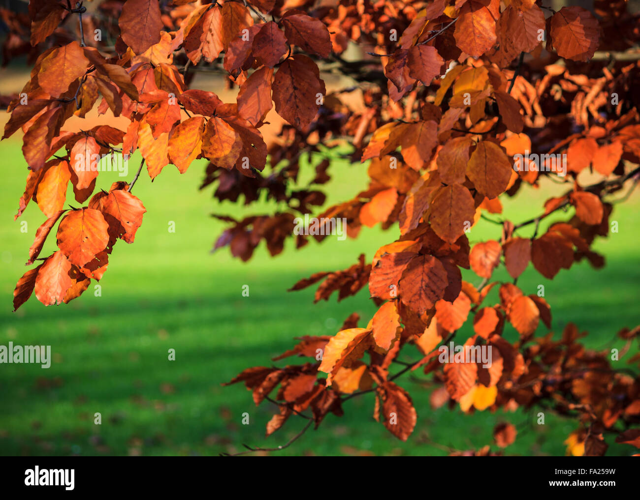 Red leaves of the copper beech in autumn - Stock Image