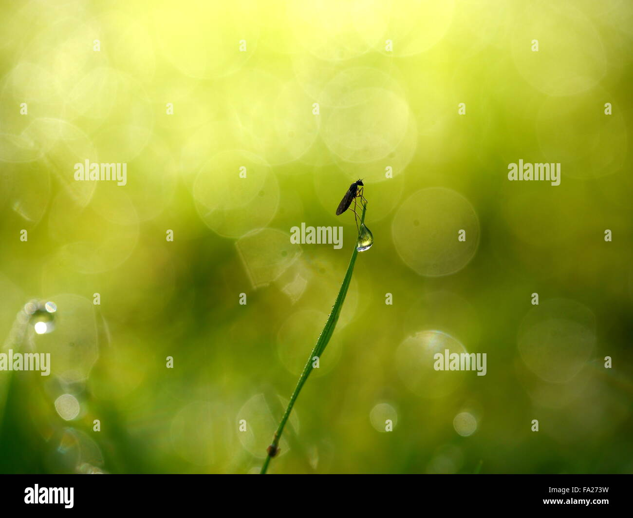 Midge on a dewy blade of grass - Stock Image