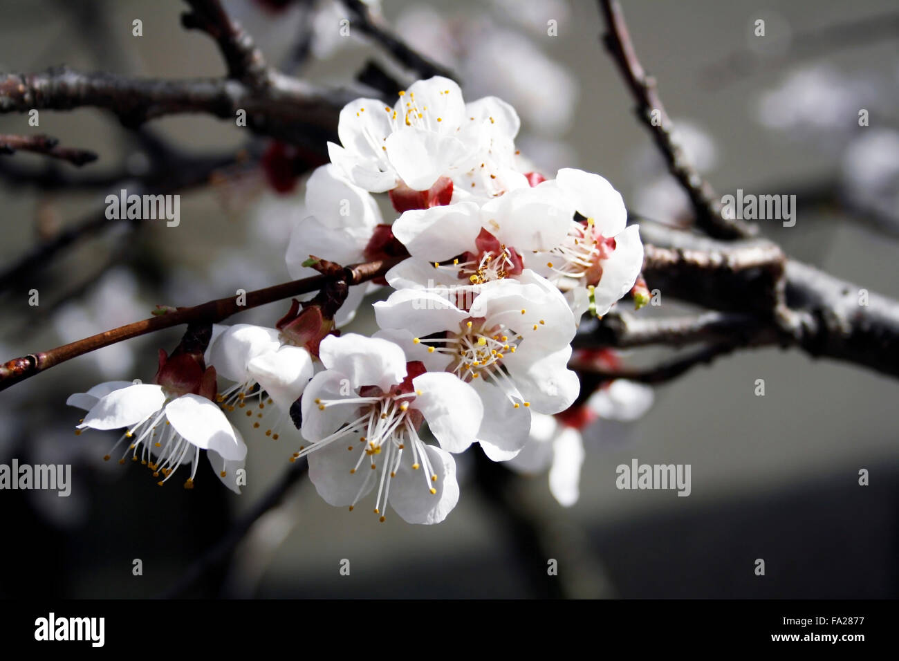 Macro image of blossoming apricot flowers - Stock Image