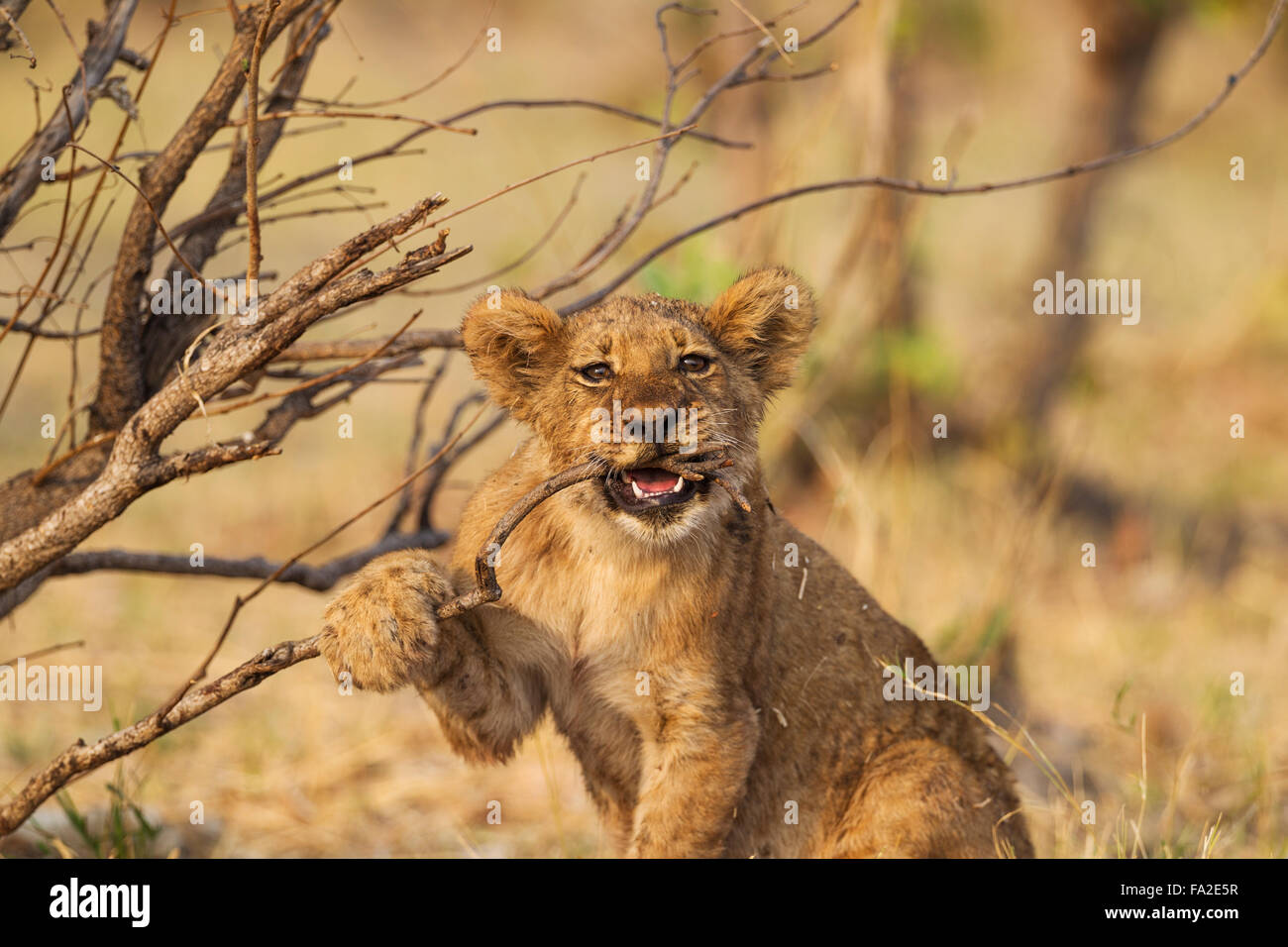 Lion (Panthera leo), playful cub, biting a twig, Savuti, Chobe National Park, Botswana - Stock Image
