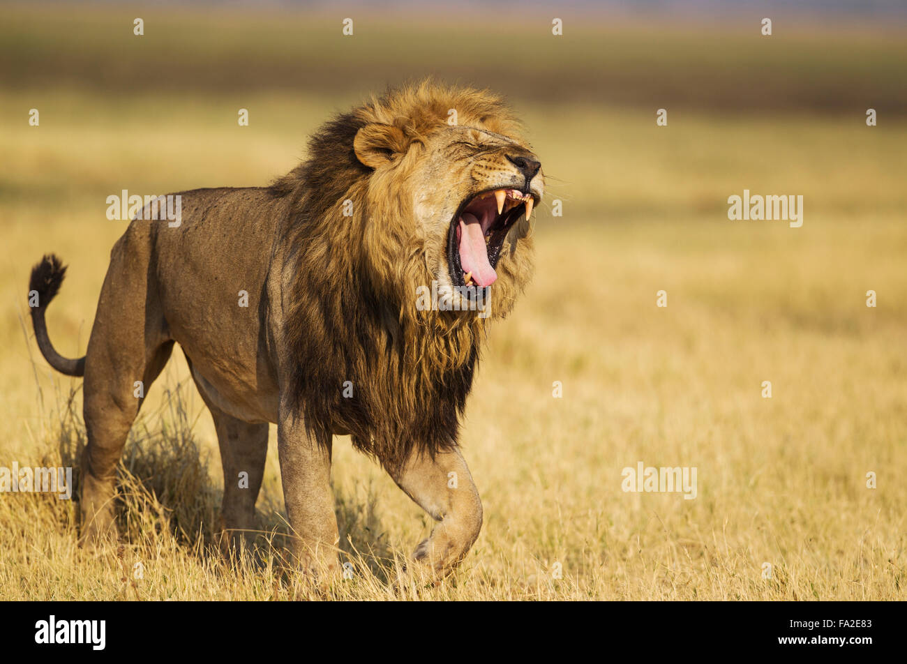 Lion (Panthera leo), male, walking and yawning, Savuti, Chobe National Park, Botswana - Stock Image