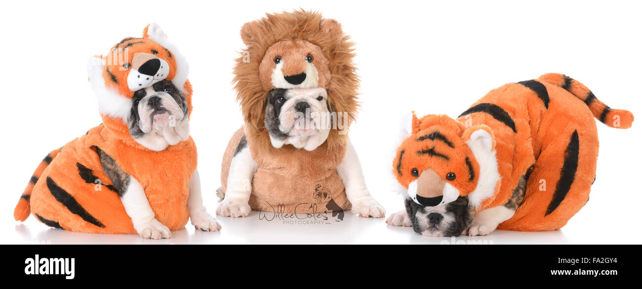 Litter Of Bulldog Puppies Dressed Up Like Lions And Tigers Stock