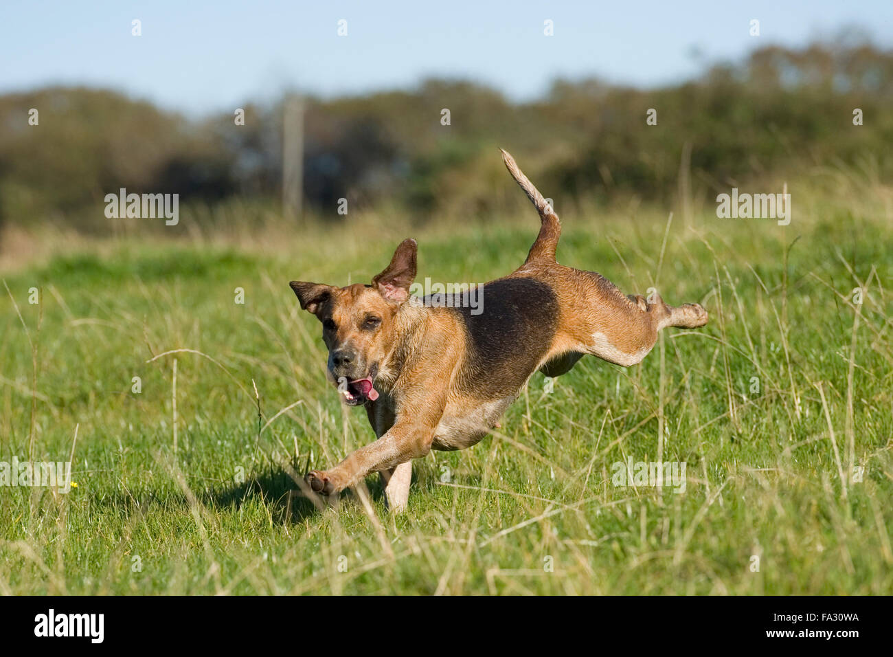 fox hound running - Stock Image