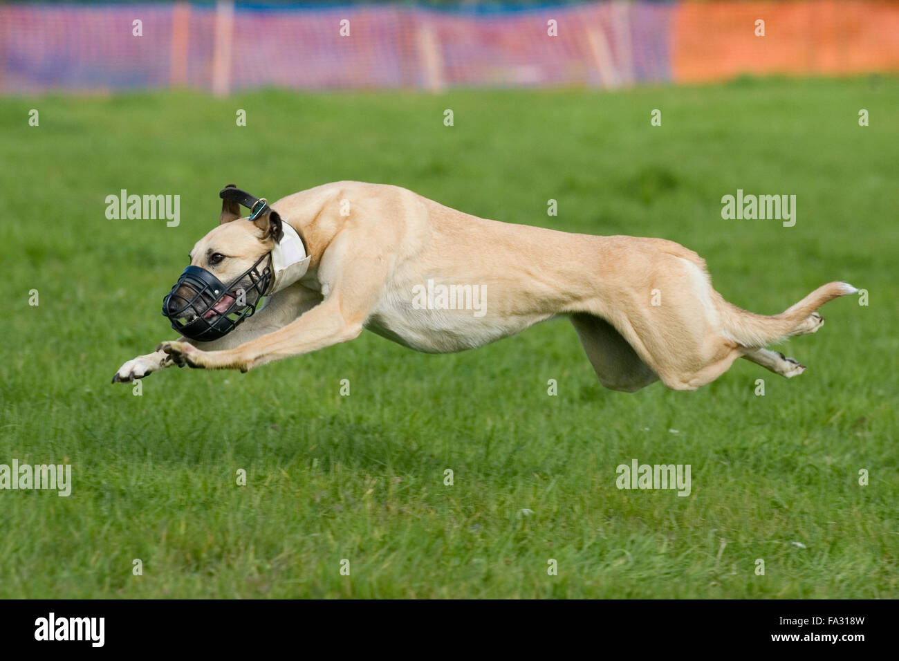 lurcher racing - Stock Image